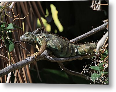 Metal Print featuring the photograph Iguana by Edward R Wisell