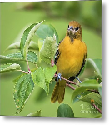 Immature Baltimore Oriole  Metal Print by Ricky L Jones