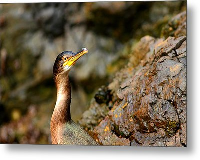 Metal Print featuring the photograph Immature Shag by Richard Patmore