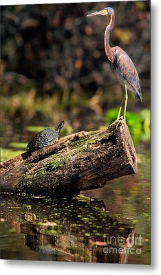 Immature Tri-colored Heron And Peninsula Cooter Turtle Metal Print by Matt Suess