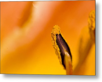 In A Daylily Metal Print by Ches Black