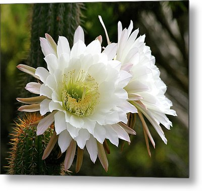Metal Print featuring the photograph Cactus Blossoms by Melanie Alexandra Price
