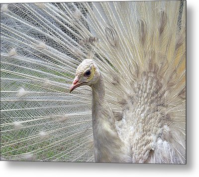 Metal Print featuring the photograph In The Spotlight by Blair Wainman