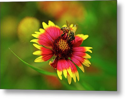 Indian Blanket Bee Metal Print by Bill Morgenstern