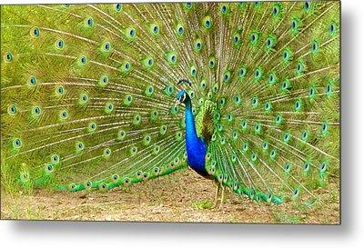 Indian Peacock Metal Print by Dan Miller