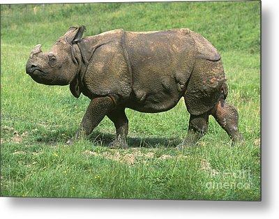 Indian Rhinoceros Metal Print by Gerard Lacz