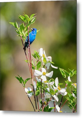 Indigo Bunting In Flowering Dogwood Metal Print by Bill Wakeley