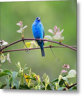Indigo Bunting Perched Square Metal Print by Bill Wakeley