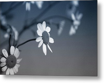 Indigo Daisies 1- Art By Linda Woods Metal Print by Linda Woods