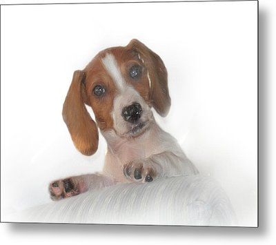 Metal Print featuring the photograph Inquisitive Dachshund by David and Carol Kelly