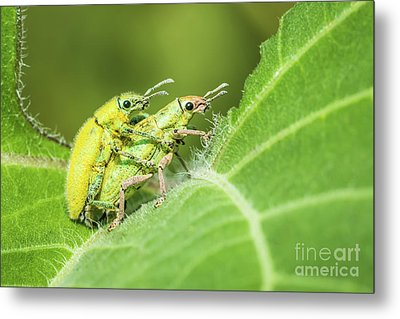 Metal Print featuring the photograph Insect Mating by Tosporn Preede
