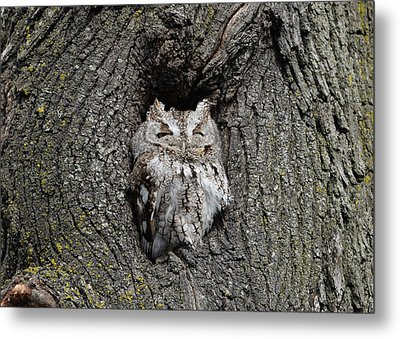 Invincible Screech Owl Metal Print by Stephen Flint