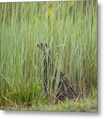 Metal Print featuring the photograph Invisible Female Spruce Grouse by Daniel Hebard