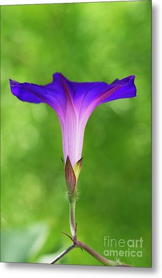 Ipomoea Morning Glory Grandpas Ott Metal Print by Tim Gainey