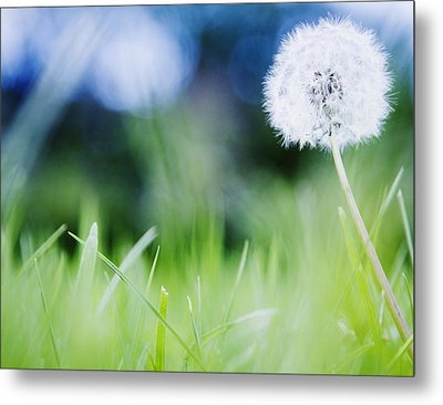 Ireland, County Westmeath, Dandelion In Meadow Metal Print by Jamie Grill