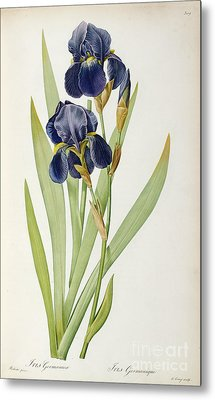 Iris Germanica Metal Print