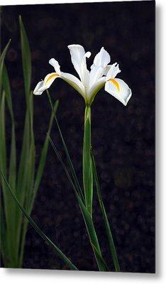Iris In My Glory Metal Print by James Steele