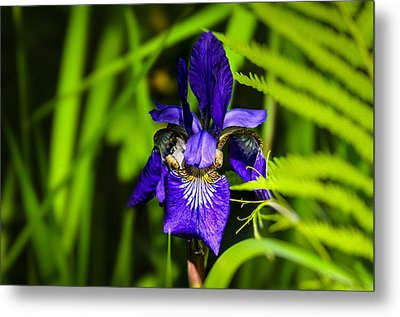Metal Print featuring the photograph Iris Versicolor by Mark Myhaver