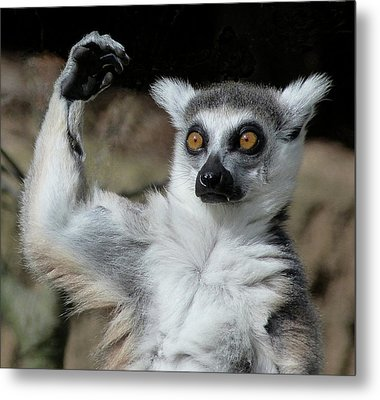 Is It Really That High - Ring-tailed Lemur Metal Print