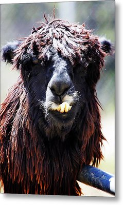 Metal Print featuring the photograph Is Your Mama A Llama? by Anthony Jones