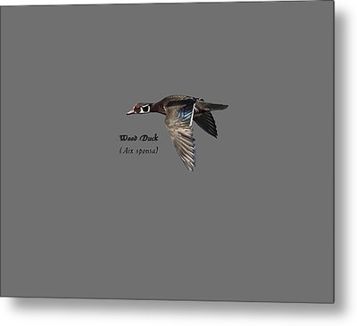 Isolated Wood Duck 2017-1 Metal Print by Thomas Young
