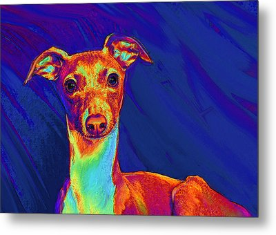Italian Greyhound  Metal Print by Jane Schnetlage