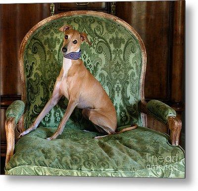 Italian Greyhound Portrait Metal Print by Angela Rath