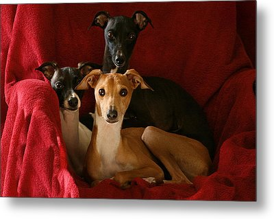 Italian Greyhound Trio 2 Metal Print