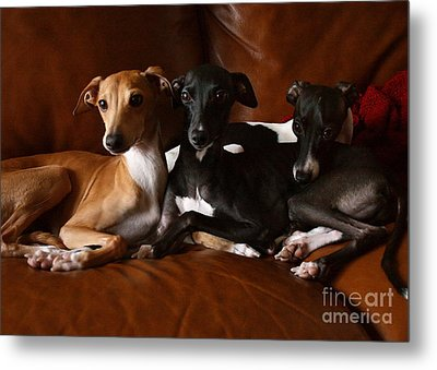 Italian Greyhound Trio Metal Print by Angela Rath