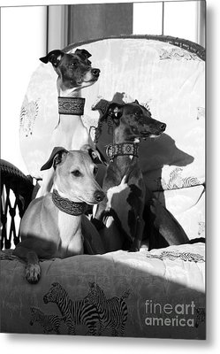 Italian Greyhounds In Black And White Metal Print