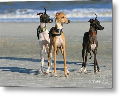 Italian Greyhounds On The Beach Metal Print