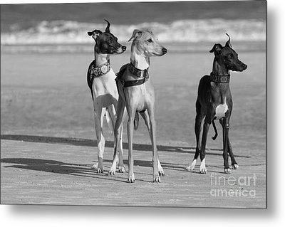Italian Greyhounds On The Beach In Black And White Metal Print by Angela Rath