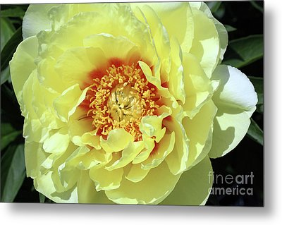 Itoch Peony  Metal Print