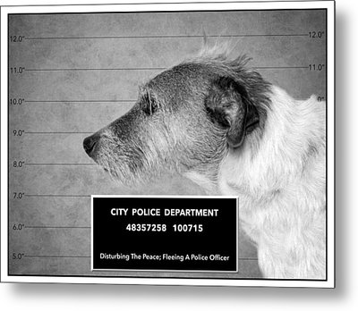 Jack Russell Terrier Mugshot - Dog Art - Black And White Metal Print