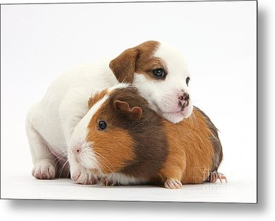 Jack Russell Terrier Puppy Guinea Pig Metal Print