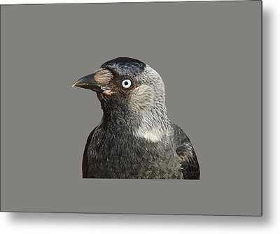 Jackdaw Corvus Monedula Bird Portrait Vector Metal Print