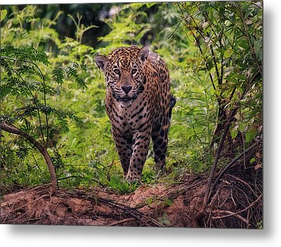 Metal Print featuring the photograph Jaguar      by Wade Aiken