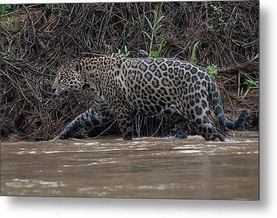 Metal Print featuring the photograph Jaguar In River by Wade Aiken