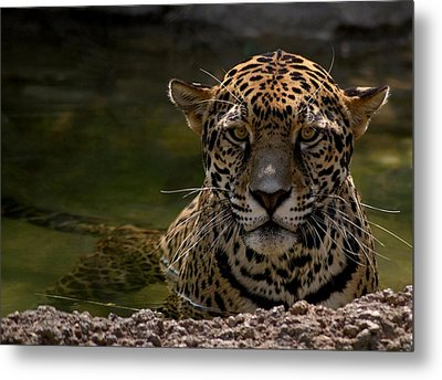 Jaguar In The Water Metal Print by Sandy Keeton