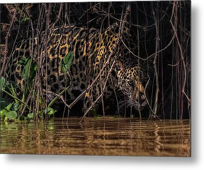 Metal Print featuring the photograph Jaguar In Vines by Wade Aiken