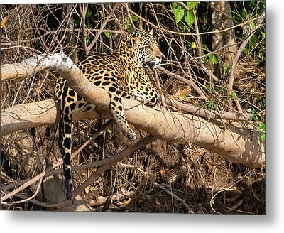 Metal Print featuring the photograph Jaguar In Repose by Wade Aiken