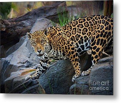 Jaguar Pose Metal Print