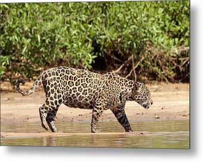 Jaguar Walking On A River Bank Metal Print