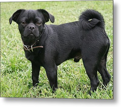 Jake The Frug Metal Print by Laurie Perry