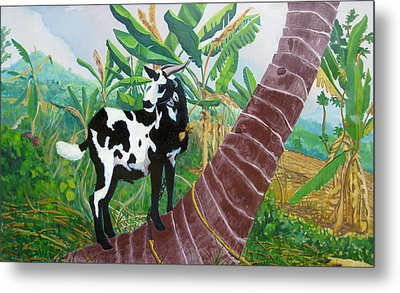 Jamaican Goat In A Tree Metal Print by D T LaVercombe