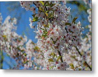 Japanese Cherry  Blossom Metal Print by Daniel Precht