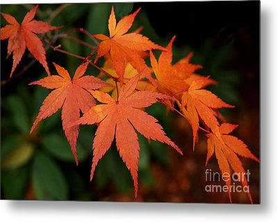 Japanese Maple Leaves Metal Print by Patricia Strand