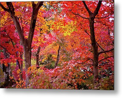 Japanese Maple Trees Metal Print by I love Photo and Apple.