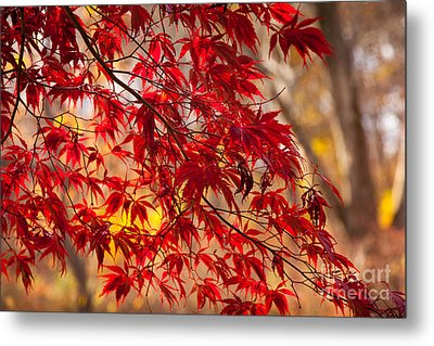 Japanese Maples Metal Print by Susan Cole Kelly