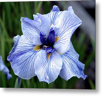 Japanese Water Iris In Blue 2695 H_3 Metal Print